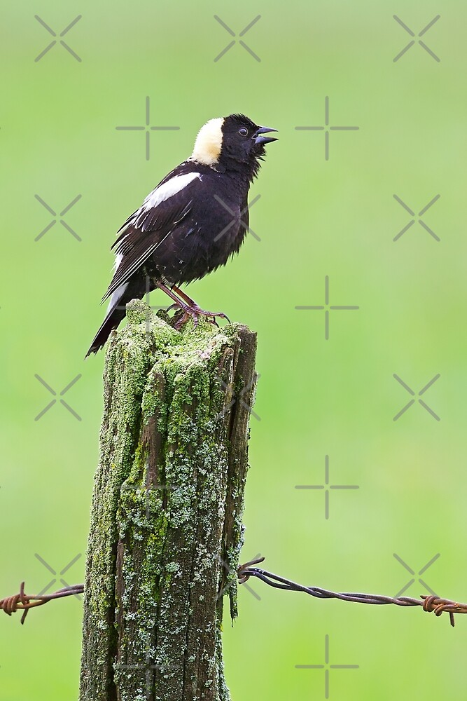 Bobolink by Jim Cumming