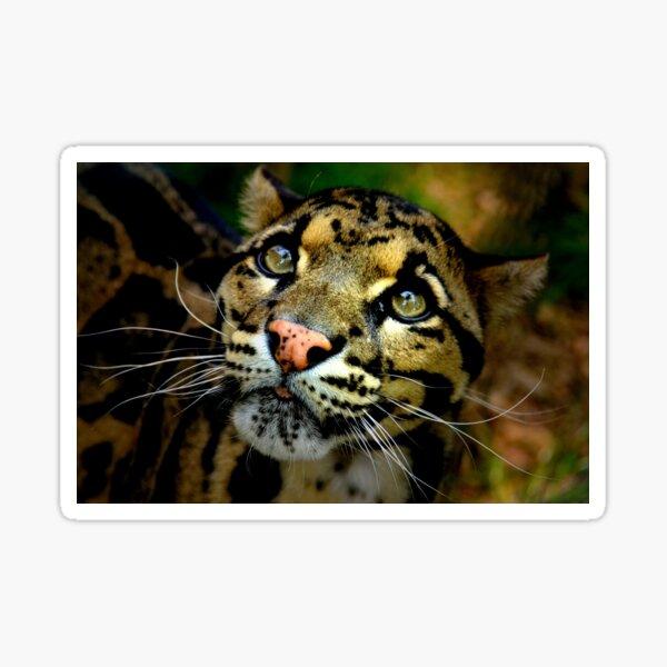~Clouded Leopard~ Sticker