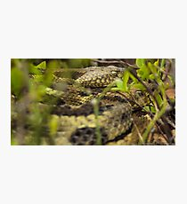 Two Rattlesnakes Rest in the Shade Photographic Print