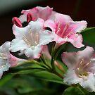 White pink flowers. by ikshvaku