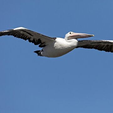 Australian Pelican - Matilda Bay, W.A. by Sandra