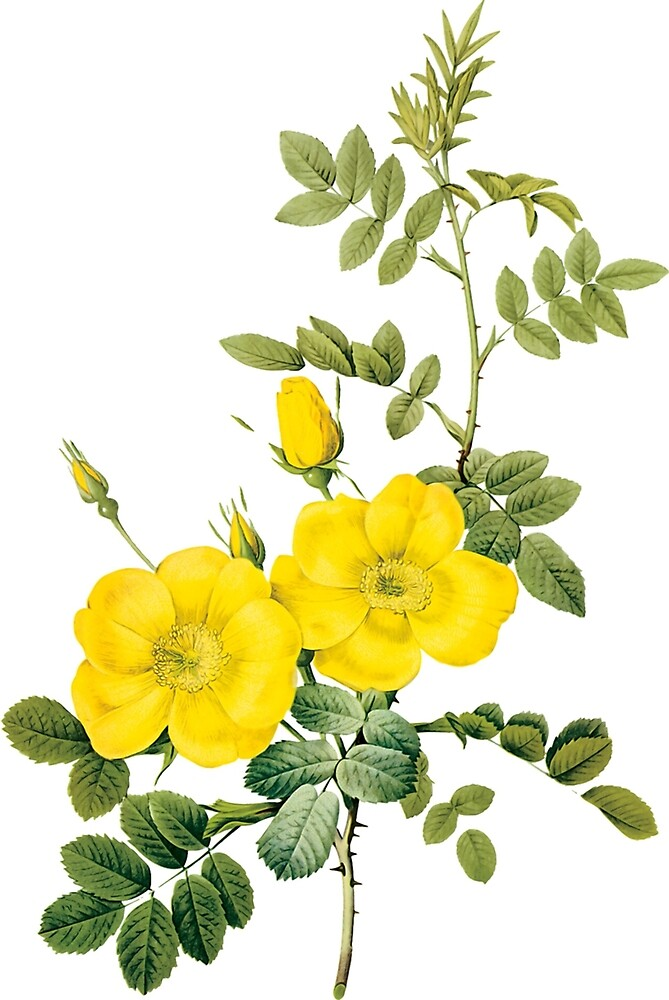 Yellow rose by eleyne