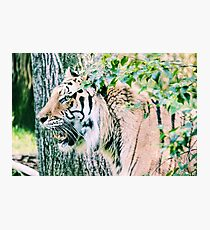 Tiger Growl Photographic Print