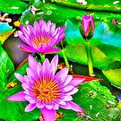 Pink Water Lilies by Zzenco