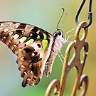 Tailed Jay by Grant Glendinning