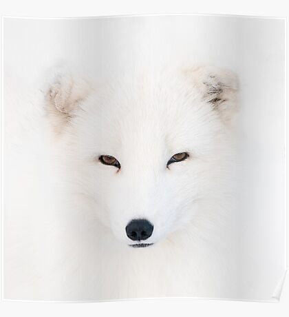Polar Fox Poster