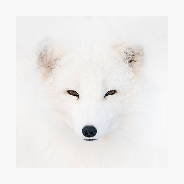Polar Fox Photographic Print
