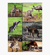 Aussie Kangaroos In A Photo Collage Photographic Print