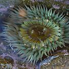Sea Anemone 1  by Heather Friedman