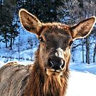 Hello, I'm an Elk girl.... by Poete100