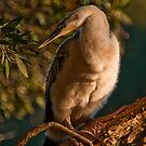 Young Australian Darter by Erik Schlogl