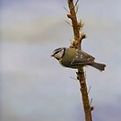 Blue Tit  by M.S. Photography/Art