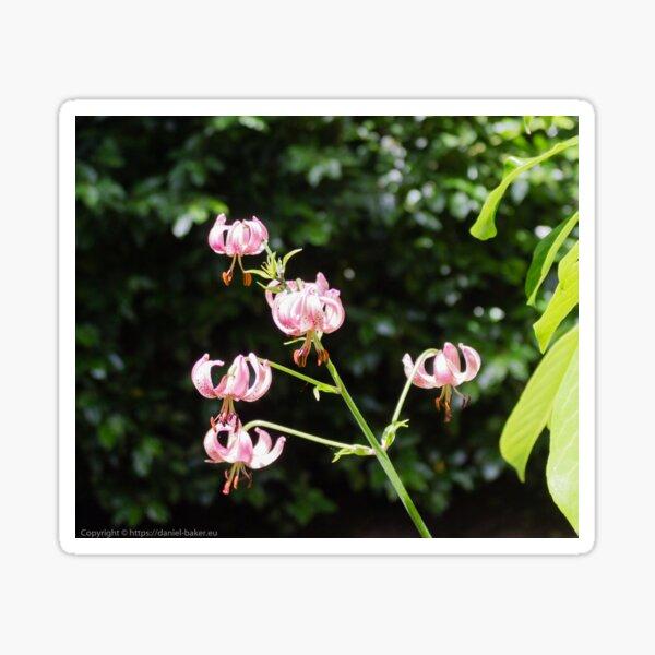 Lilium martagon (Turk's cap lily) Sticker