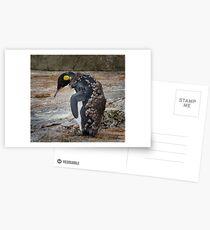 Moulting Penguin Postcards