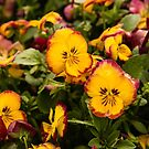 Yellow Pansies by SusanAdey