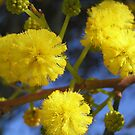 Wattle by Maryanne Lawrence