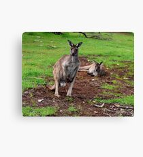 Kangaroos, Whats up Down Under Canvas Print