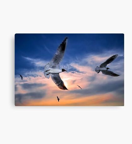 Black-Headed Gulls at Sunset Canvas Print