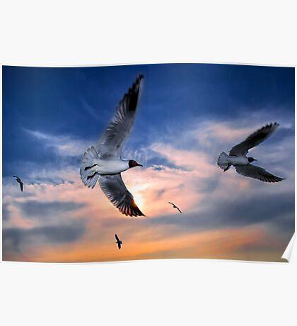 Black-Headed Gulls at Sunset Poster