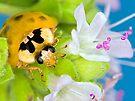 Ladybird - Ladybug - Marienkäfer - Glückskäfer III by Henry Jager