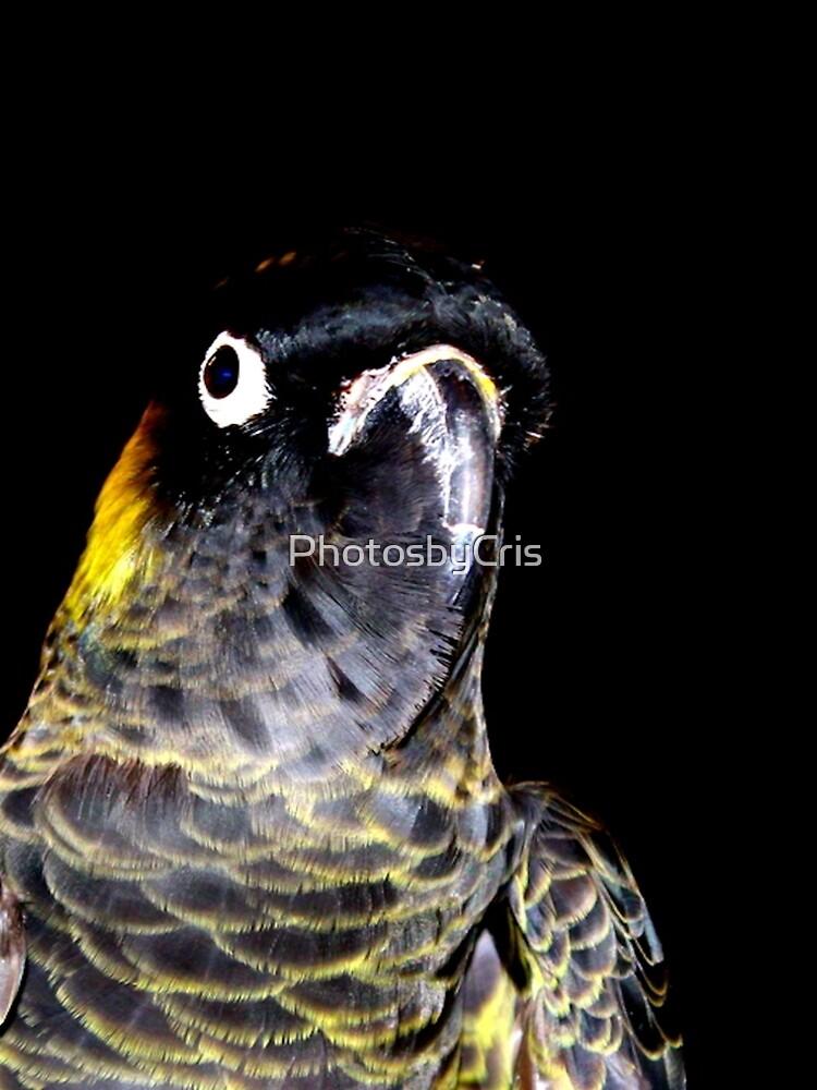 Black Cockatoo  by PhotosbyCris