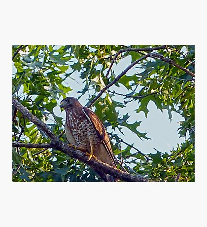 Broadwing Hawk Photographic Print