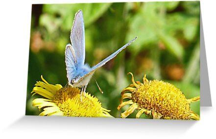 Silver Studded Blue Butterfly by lynn carter