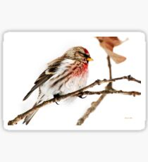 Winter Redpoll Sticker