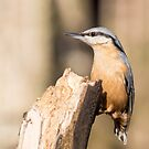 Nuthatch 2 by Ellesscee