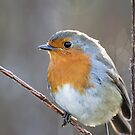 Robin by Ellesscee