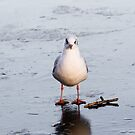 Black Headed Gull on Ice by Ellesscee