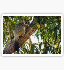 Brush-tailed Possum Sticker