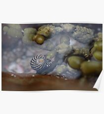 Seaside; Sea Snail Poster