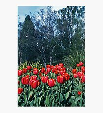 Kodachrome Tulips Photographic Print