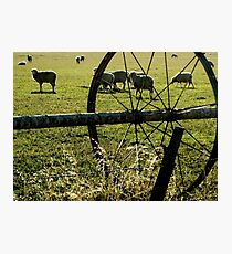 Sprinklers - Sheep Photographic Print