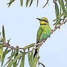 Rainbow bee-eater by Sarah Guiton
