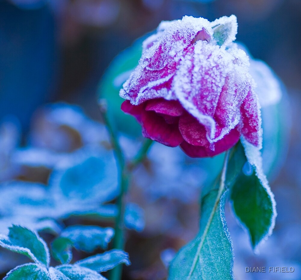 Frosty Rose  by DIANE  FIFIELD
