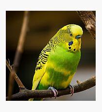 Budgie Bird Animal Photographic Print