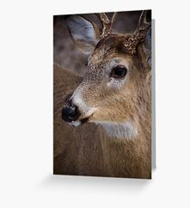 Young Buck Close Up Greeting Card