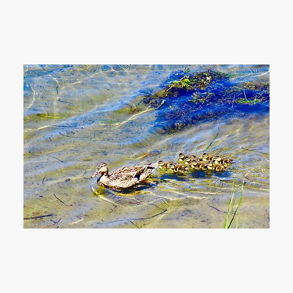 Family Outing - Ducks Photographic Print