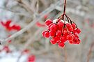High Winter Reds by Kathleen Daley