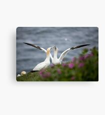 Gannets Canvas Print