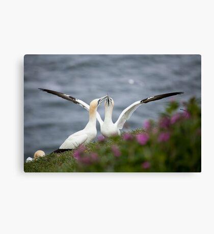 Gannets Canvas Print