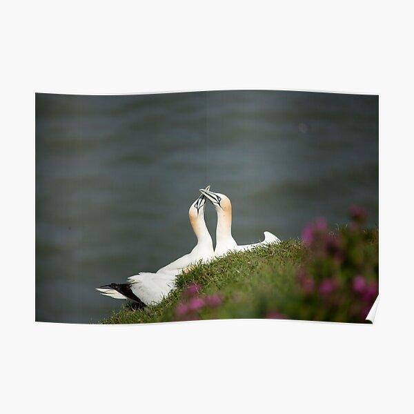 Gannets Poster