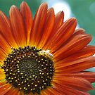 Red/ orange sunflower by Jackie Popp
