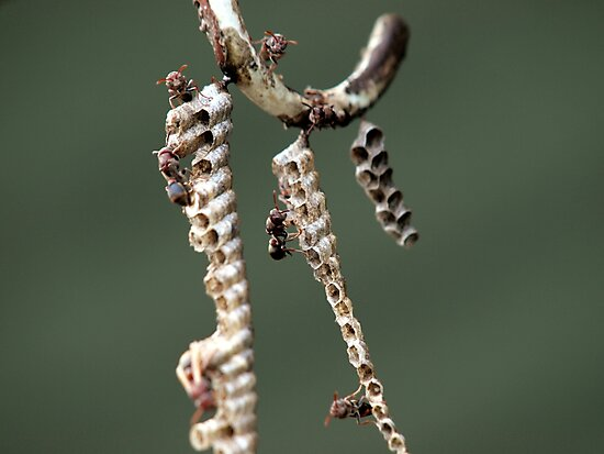 Australian Paper Wasp by W E NIXON  PHOTOGRAPHY