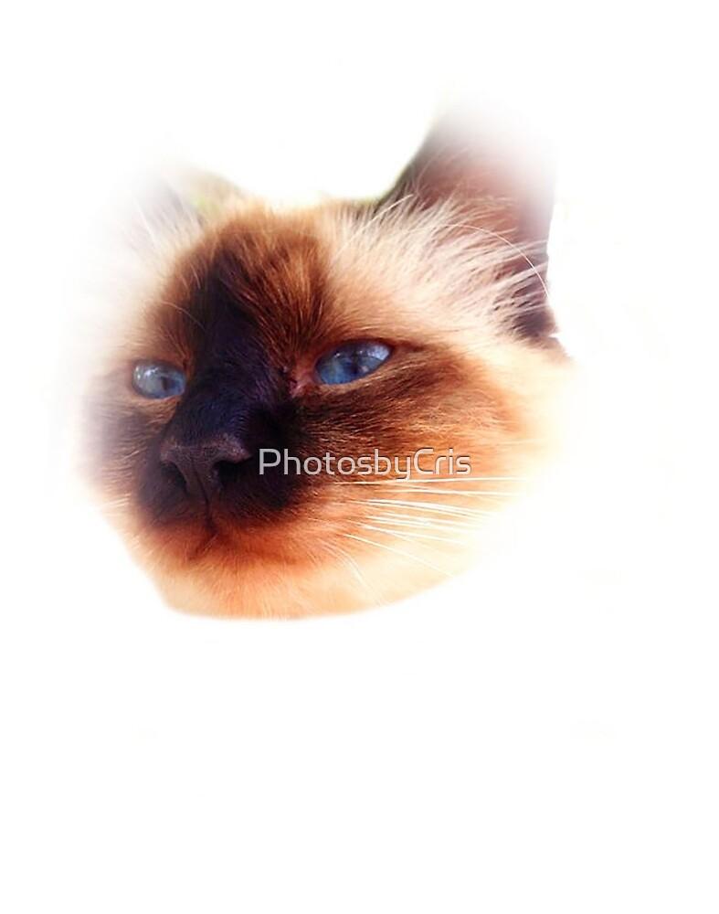 Cat by PhotosbyCris