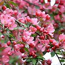 Spring blossom tree background by Maryna Gumenyuk