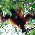 Orangutan by David McGilchrist