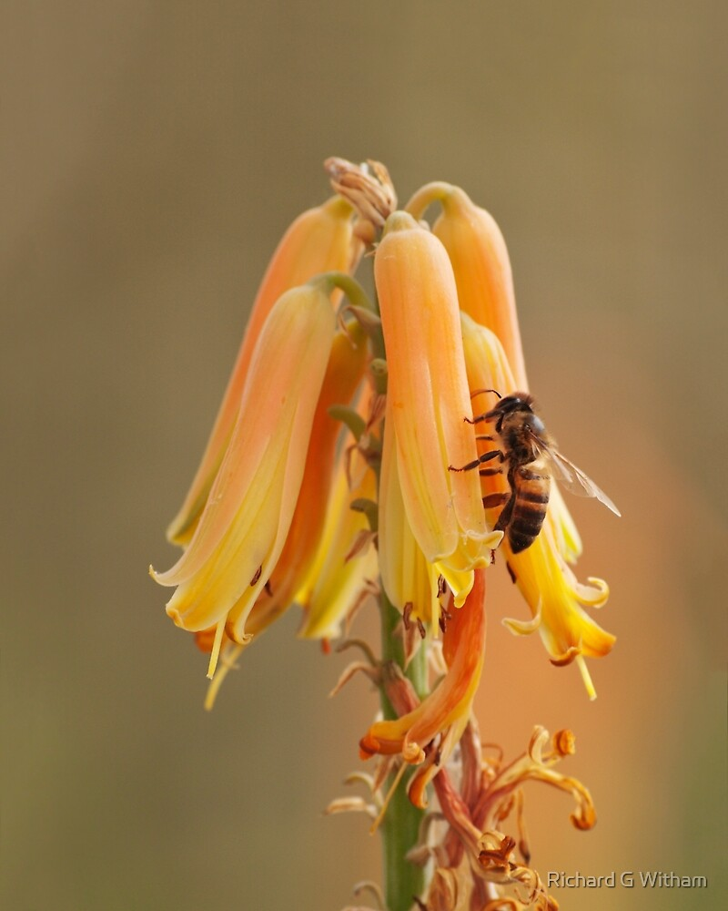 Aloe and the Bee by Richard G Witham